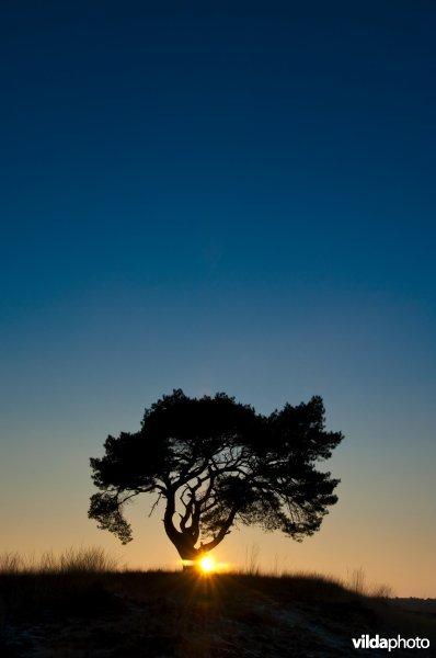 Silhouet van grove den in avondschemering