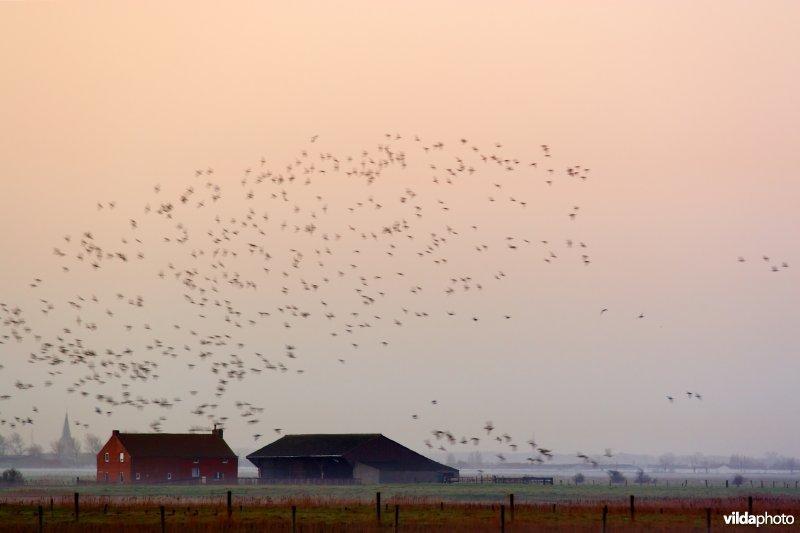 Een wolk ganzen boven de polders